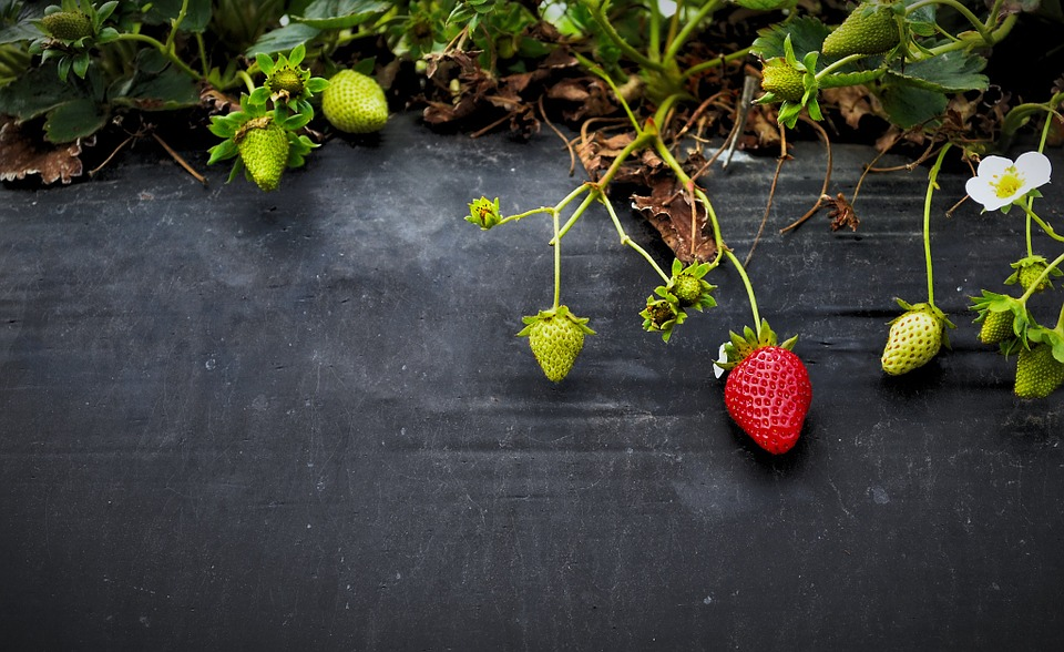 strawberry plants with their green and red fruits