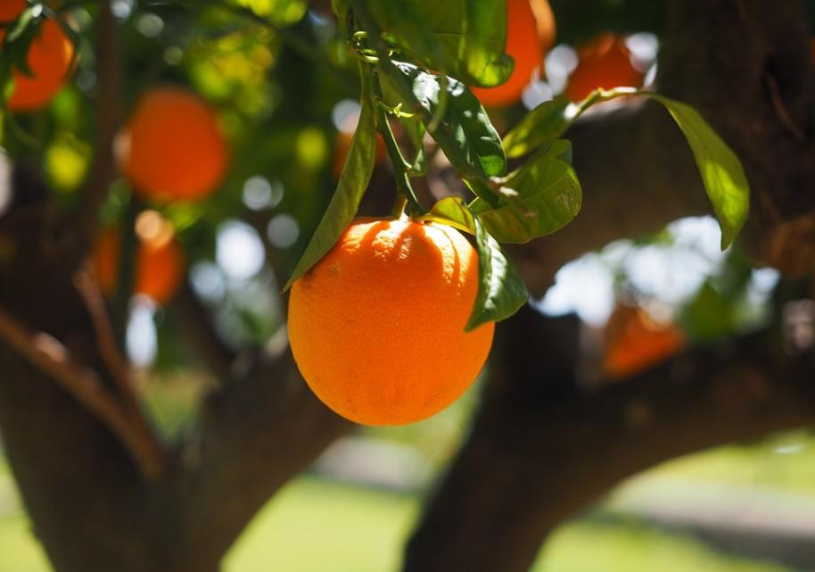 Orange fruit hanging from an orange tree