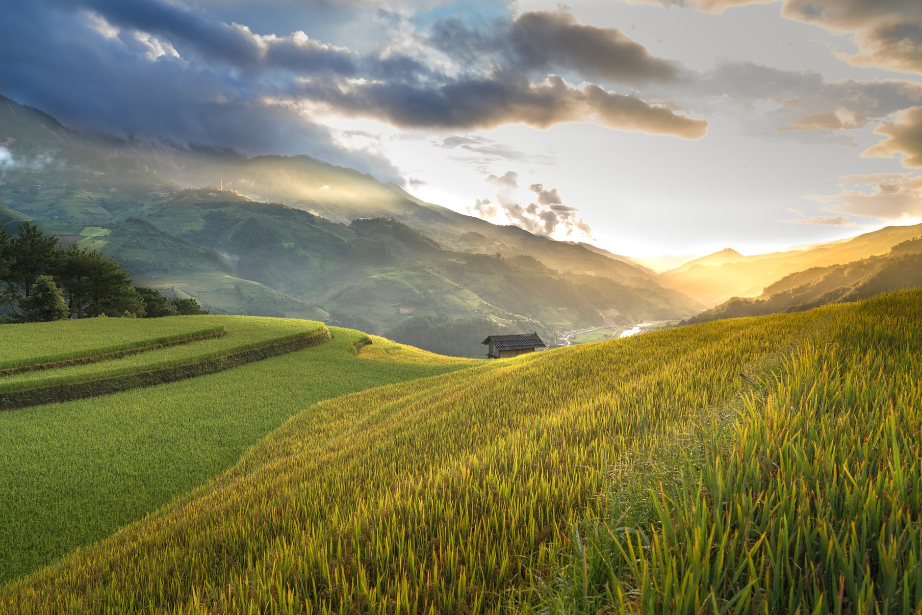 Rice field during golden hour